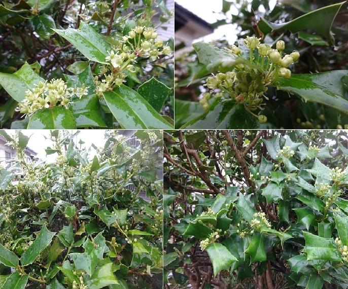 チャイニーズホーリの花