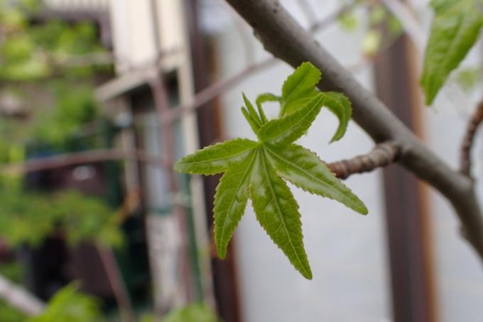 モミジバフウの若葉