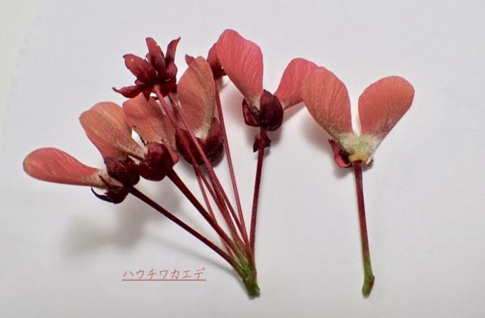 ハウチワカエデ種子 (1)