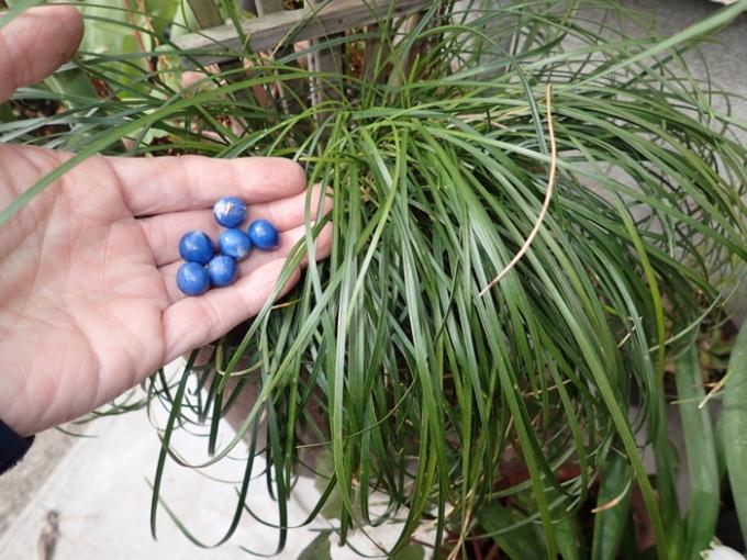 ジャノヒゲの種子