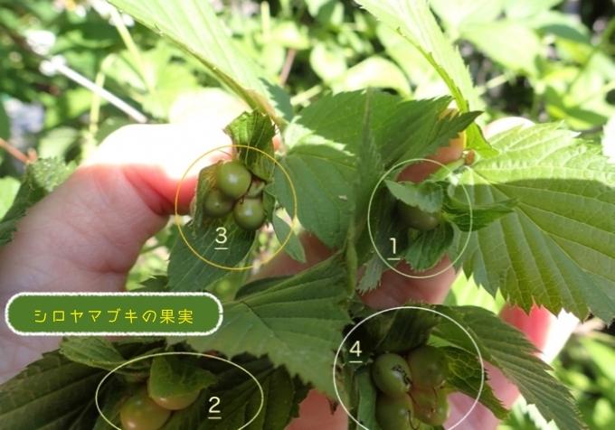 シロヤマブキの果実数の違い