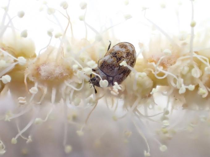 ヒメマルカツオブシムシ
