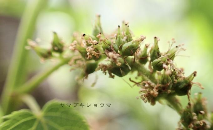 ヤマブキショウマの花後
