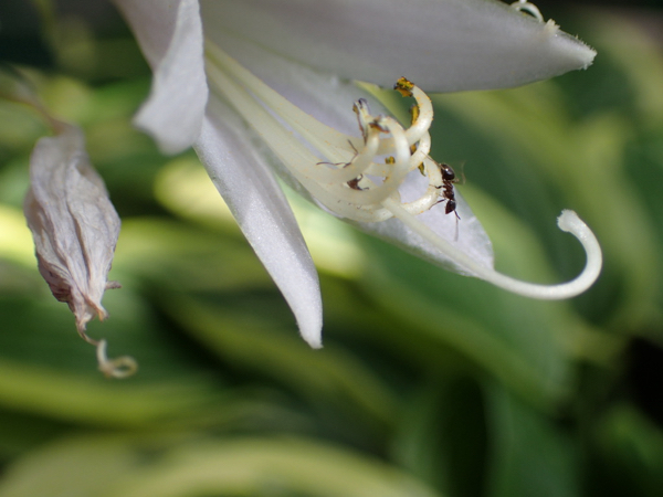 オオバギボウシの花