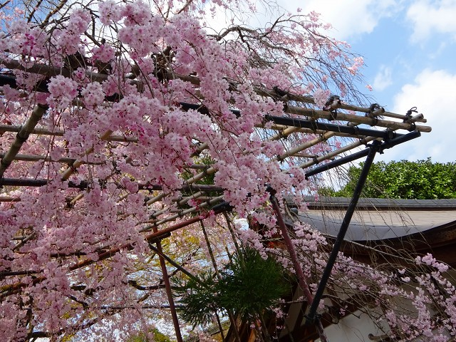 18,4,3 みあれ桜