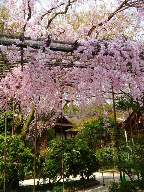 18,4,3 みあれ桜 (2)