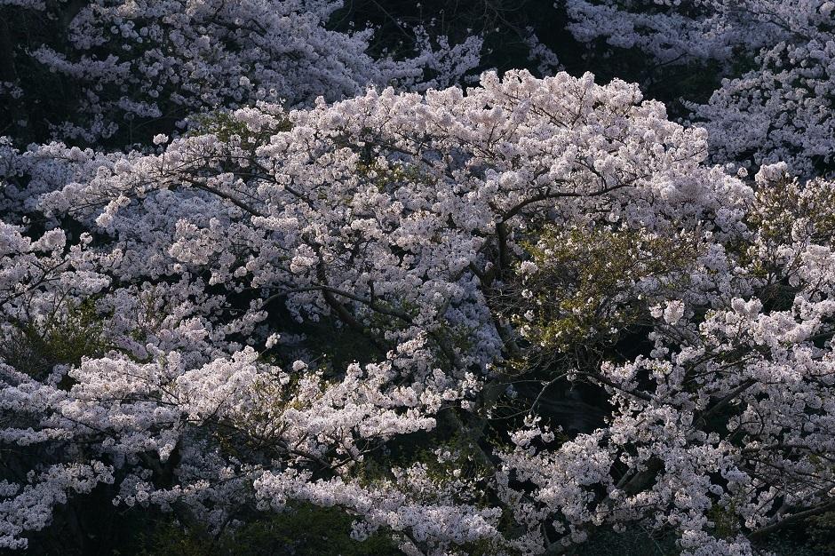 花の尾根咲き満ちてこぼるゝ花もなかりけり高浜虚子20180403s