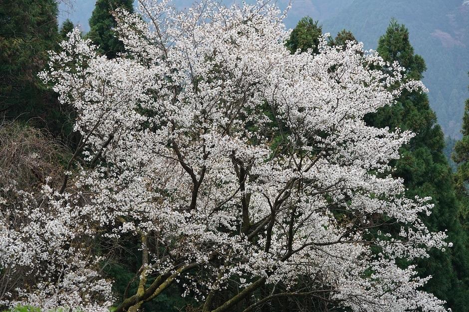 一木の桜遠桜いのちの距離とおぼえけり林翔20180404s