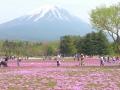 富士芝桜まつり1 009