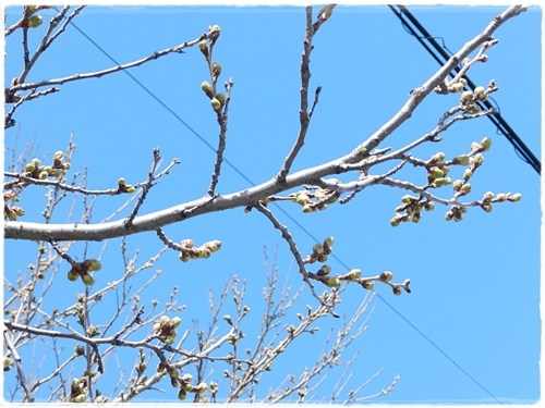 増毛の桜のツボミ