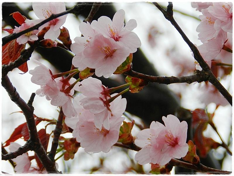 千歳水族館桜