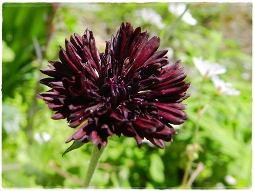 ヤグルマ菊