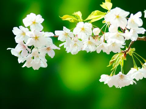 めでたい桜狩り~茶と華と・春の番外編~・5