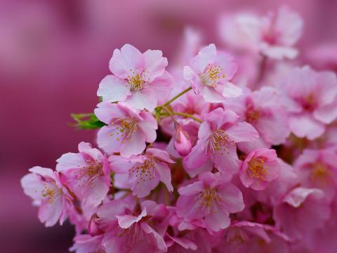 めでたい桜狩り~茶と華と・春の番外編~・6