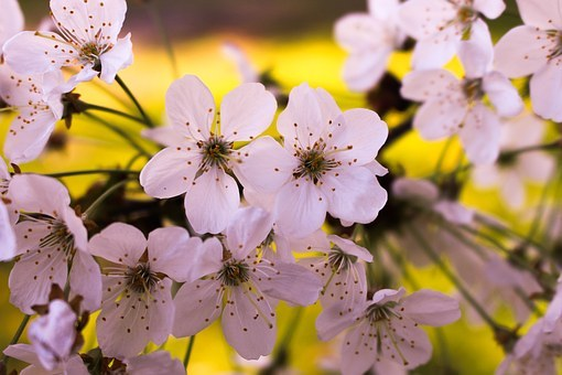 めでたい桜狩り~茶と華と・春の番外編~・10