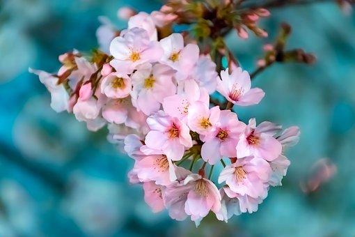 めでたい桜狩り~茶と華と・春の番外編~・4