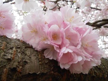 めでたい桜狩り~茶と華と・春の番外編~・7