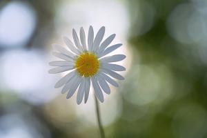 daisy-2491832__340.jpg