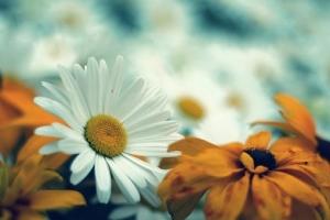 daisy-2696516__340.jpg