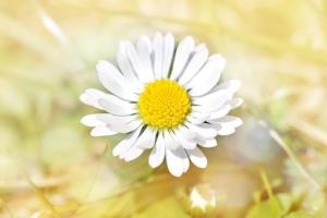 daisy-770694__340.jpg