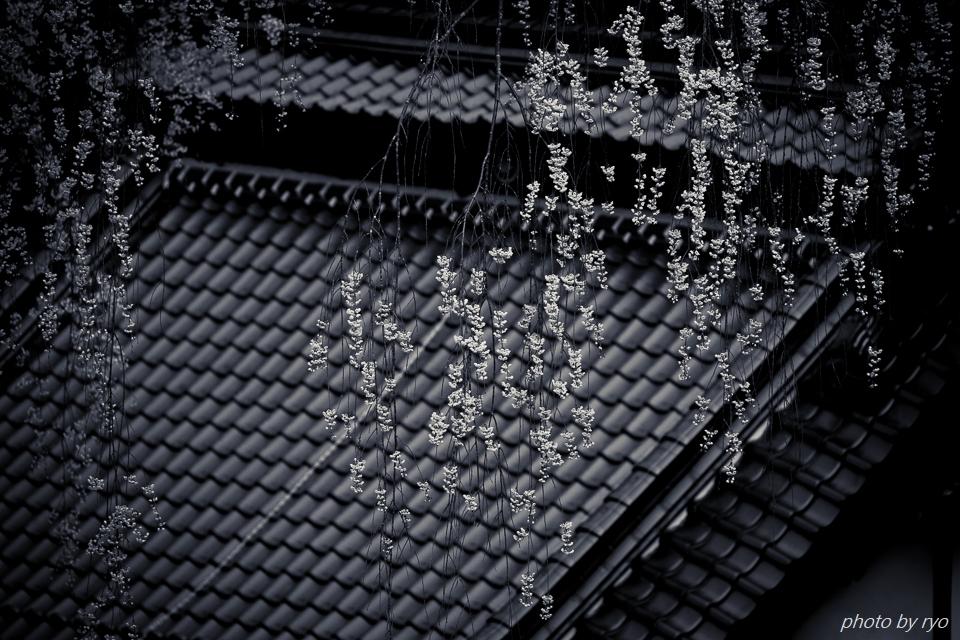 大楽寺のしだれ桜_2
