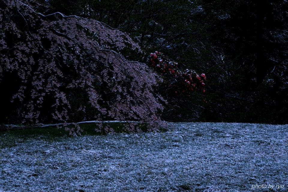 雪と与一野のしだれ桜_2