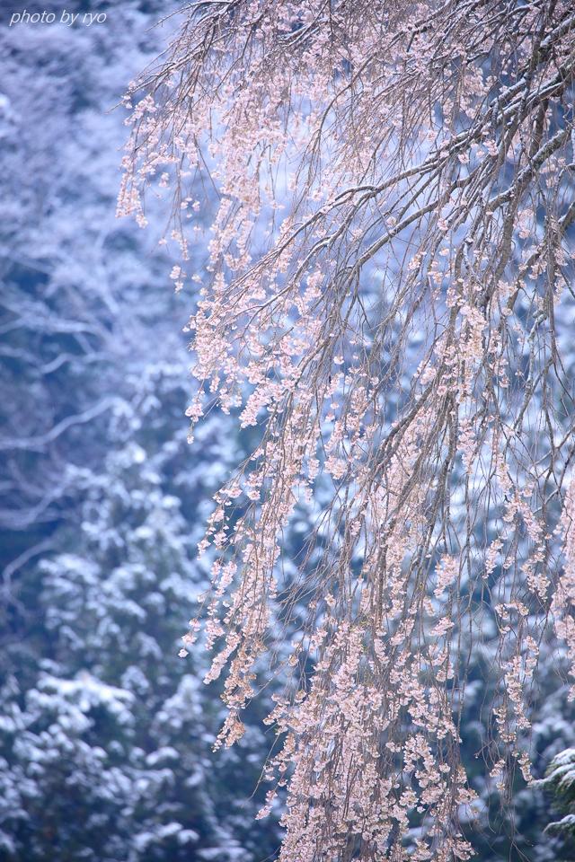 雪と与一野のしだれ桜_3