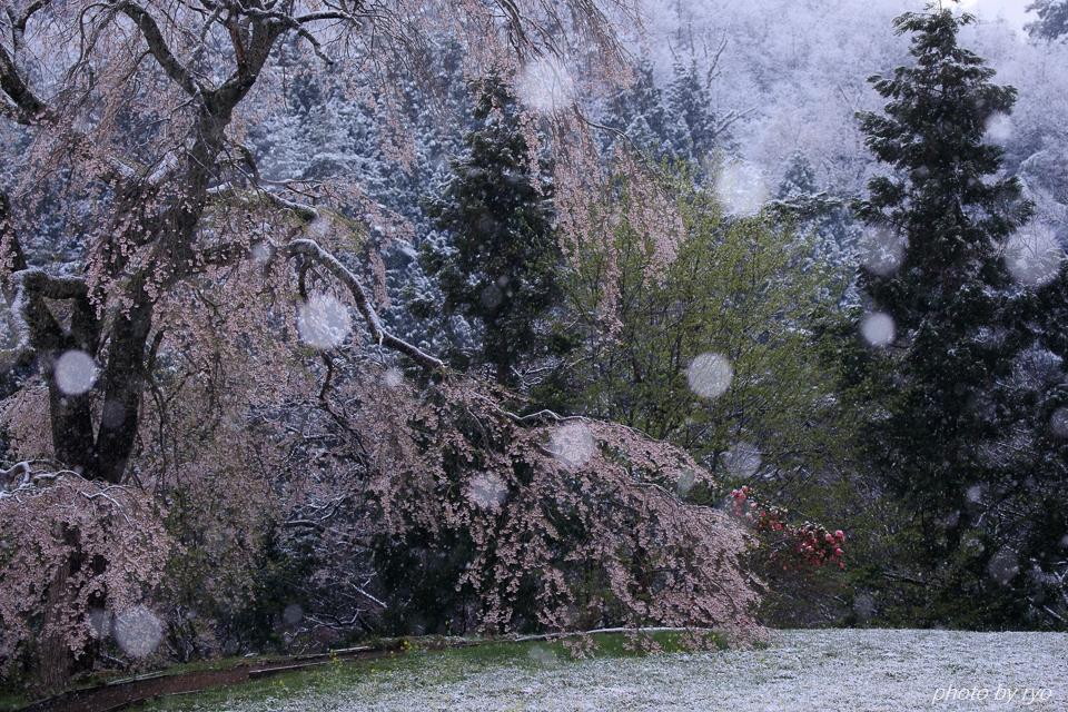 雪と与一野のしだれ桜_4