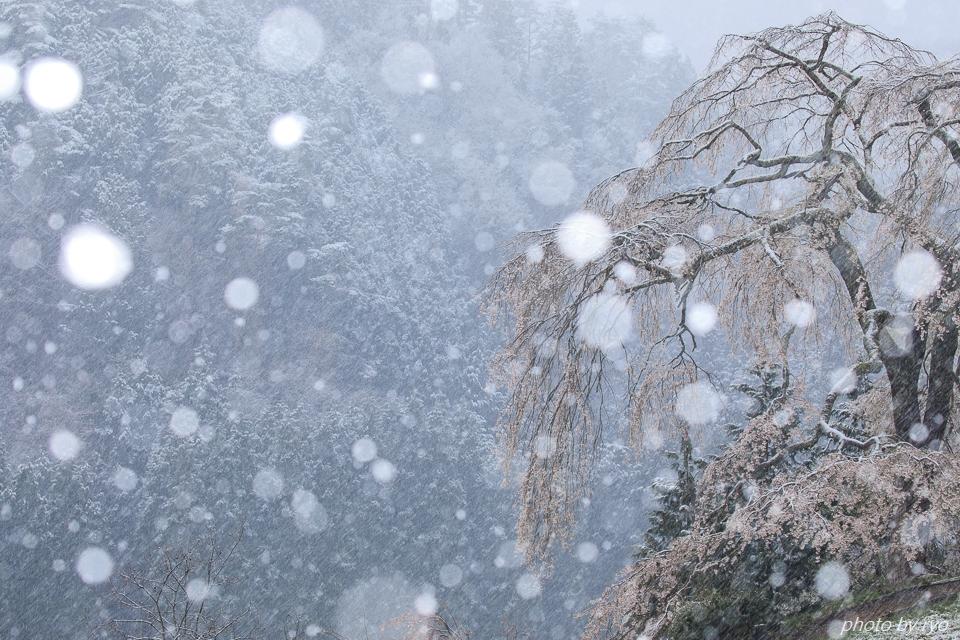 雪と与一野のしだれ桜_5