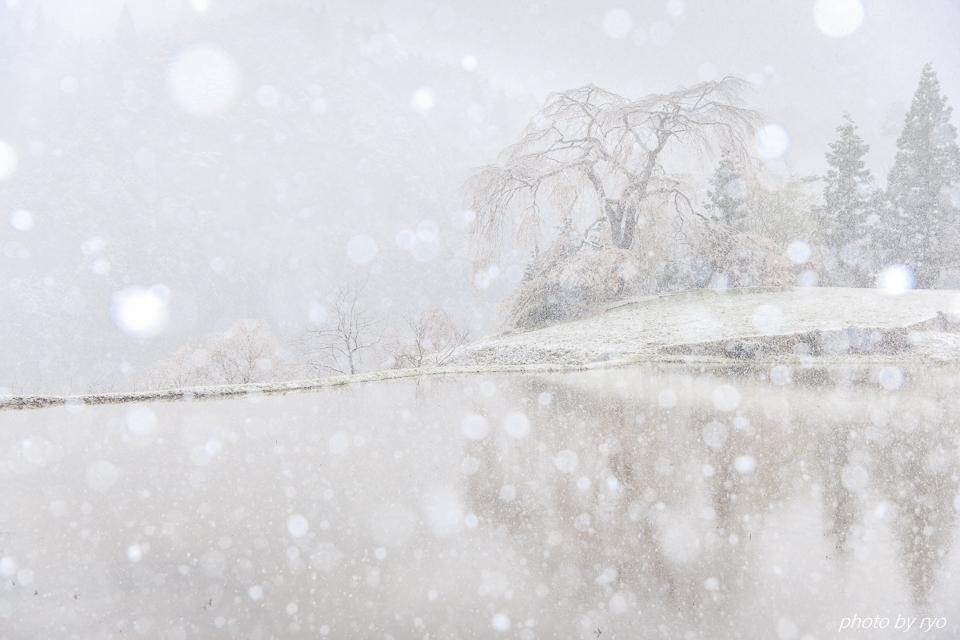 雪と与一野のしだれ桜_6
