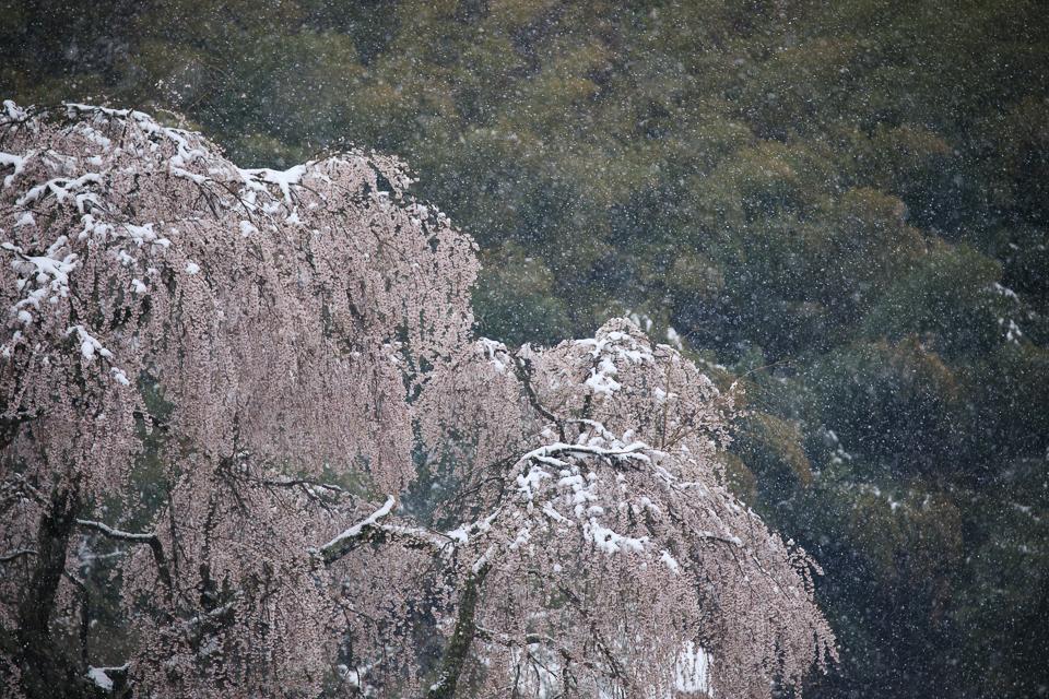 中原(小田掛)のしだれ桜_5