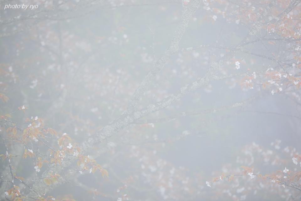 なごり桜_1