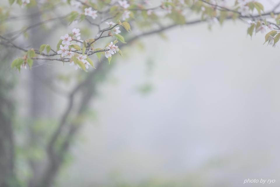なごり桜_4