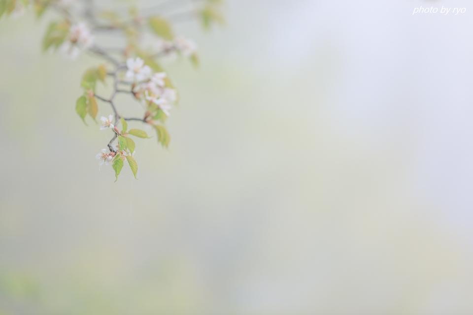 なごり桜_5