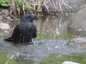 カラス水浴び1