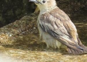 キビタキ水浴び