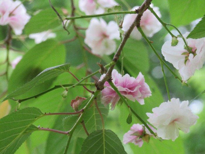 0620季節外れの桜