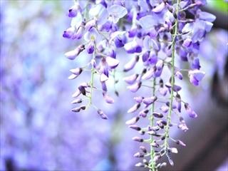 藤の花_R