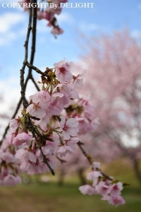 坂戸 安行寒桜