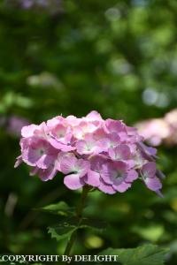 権現堂紫陽花