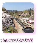 洛西の桜まつり、満開!