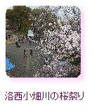 洛西小畑川の桜祭り