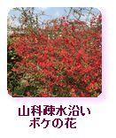 山科疎水沿い ボケの花