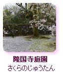 隆国寺庭園 さくらのじゅうたん