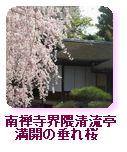 南禅寺界隈清流亭 満開の枝垂れ桜
