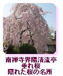 南禅寺界隈清流亭 満開の枝垂れ桜 隠れた桜の名所