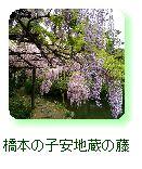 橋本の子安地蔵の藤