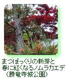 まつぼっくりの新芽と春に紅くなるノムラカエデ(勝竜寺城公園