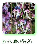 散った藤の花びら