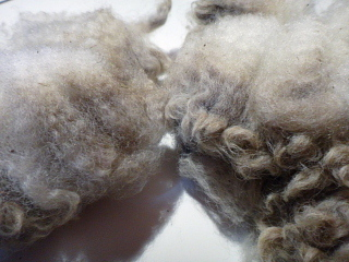 マザー牧場でいただいた毛洗う前